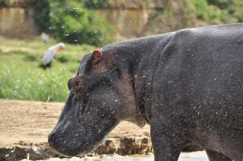 Hippo Kills Chinese Tourist in Kenya | Wild Kanda