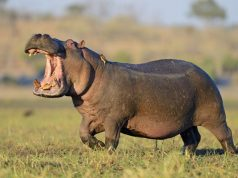 Angry and hungry Hippo